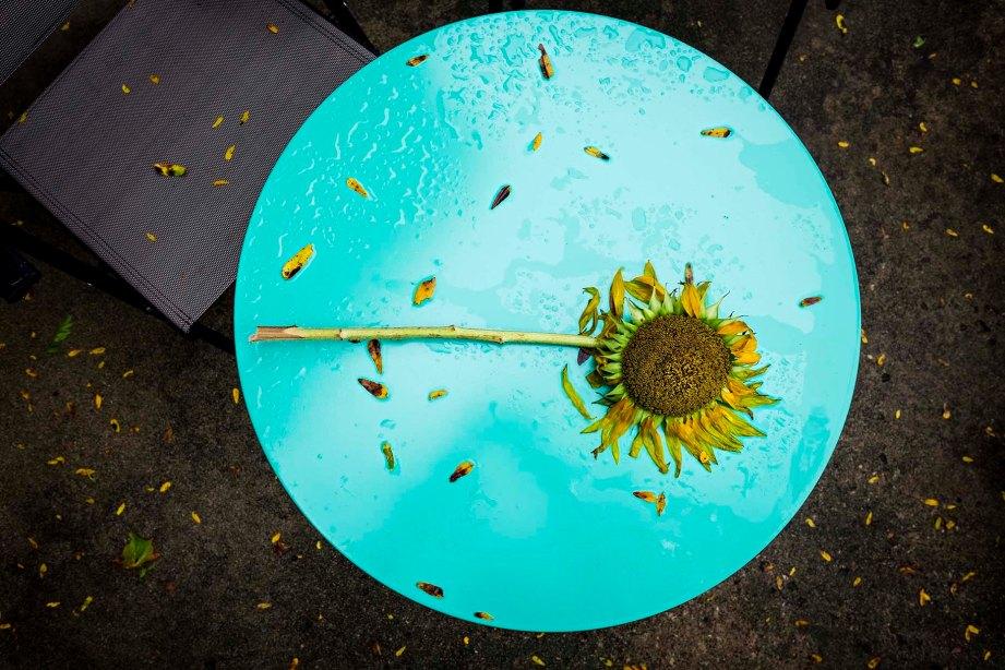 blue-sunflower