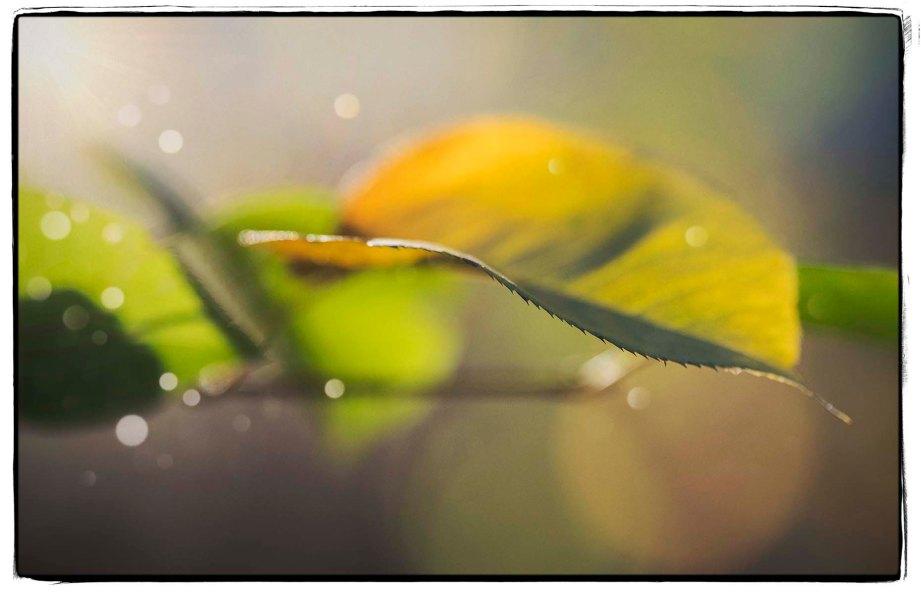 late-leaf